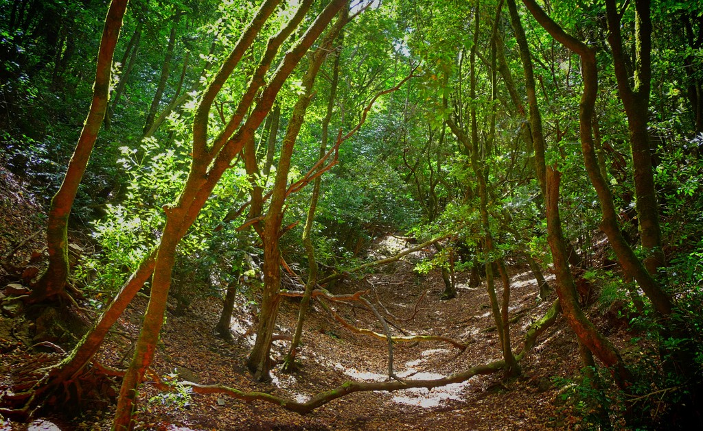 Green Forests in North Tenerife