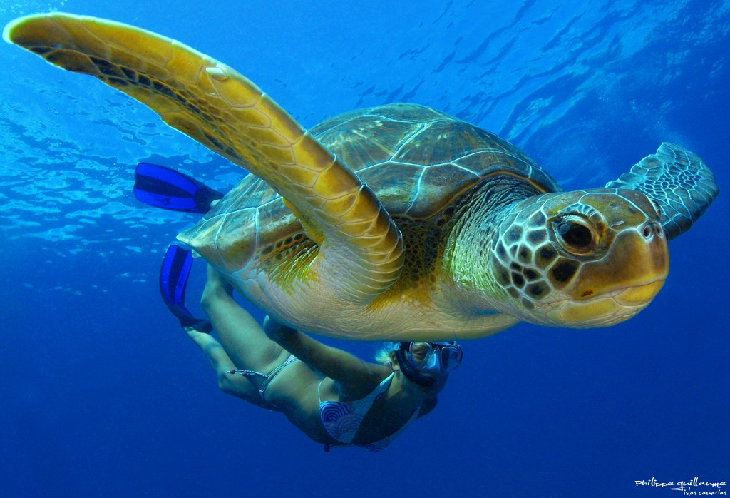 Diving with Green turtles Tenerife