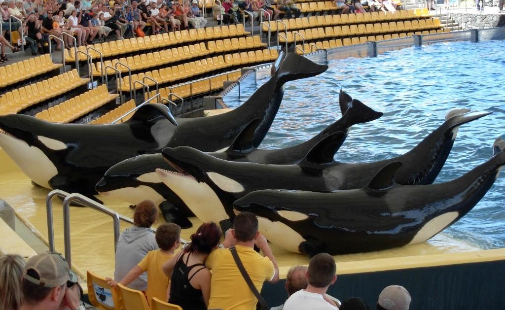Orca Show Loro Park Adeje Tenerife